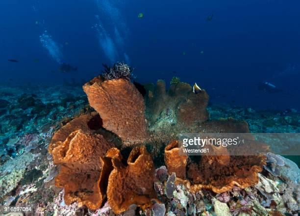 indonesia, bali, nusa lembonga, nusa penida, divers and brown vase sponge, callyspongia sp.02 - shield volcano stock pictures, royalty-free photos & images