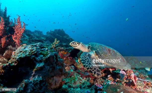 indonesia, bali, nusa lembonga, nusa penida, hawksbill turtle, eretmochelys imbricata - hawksbill turtle stock pictures, royalty-free photos & images