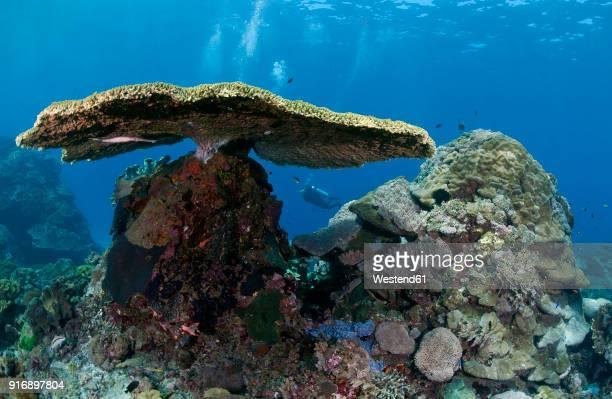 indonesia, bali, nusa lembonga, nusa penida, table coral, acropora cytherea, and divers - cytherea fotografías e imágenes de stock