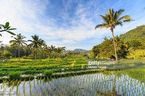 indonesia, bali, rice fields and volcanoes - rice terrace stockfoto's en -beelden