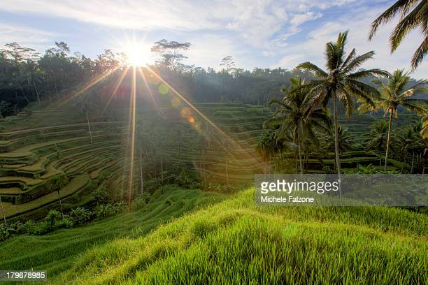 indonesia, bali, rice fields landscape - tegallalang stock photos and pictures