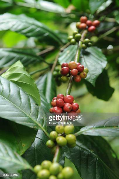 Indonesia, Bali, Tesa Munduk, coffea cherries, coffee beans