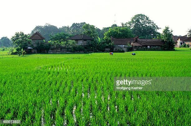 Indonesia Bali Ubud People Working In Rice Fields