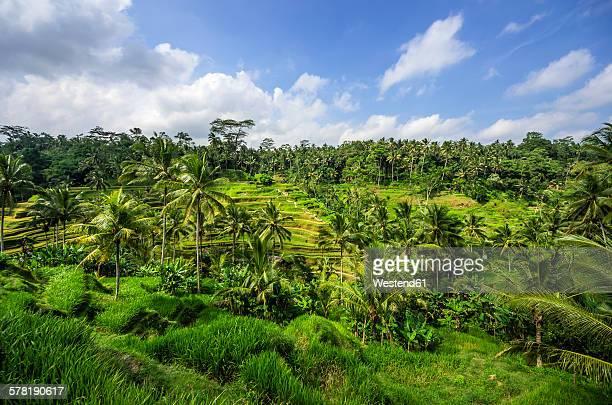 indonesia, bali, ubud, rice field near tegalalang - rice terrace stockfoto's en -beelden