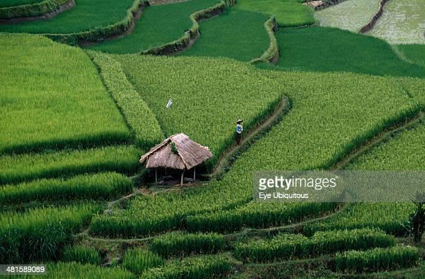 Indonesia Bali Ubud Rice terraces