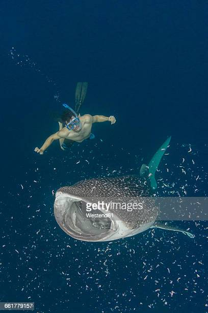 indonesia, cenderawasih bay, whaleshark and snorkeler - papua province indonesia stock pictures, royalty-free photos & images