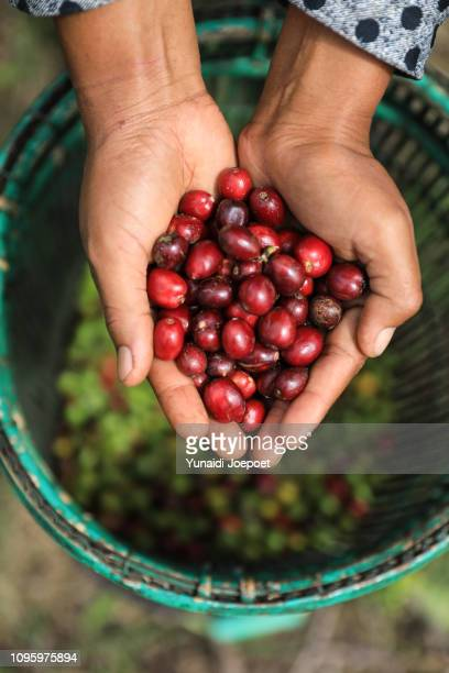 indonesia, farmer holding freshly organic coffee beans, red coffee cherries, raw berries coffee beans - plantation stock pictures, royalty-free photos & images