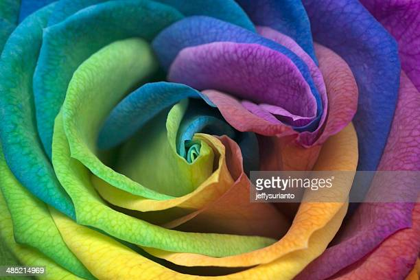 Indonesia, Jakarta, Close up of Rainbow Rose