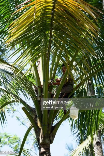 Indonesia Java Timur Kabanyaten Banyuwangi palm juice extraction for palm sugar