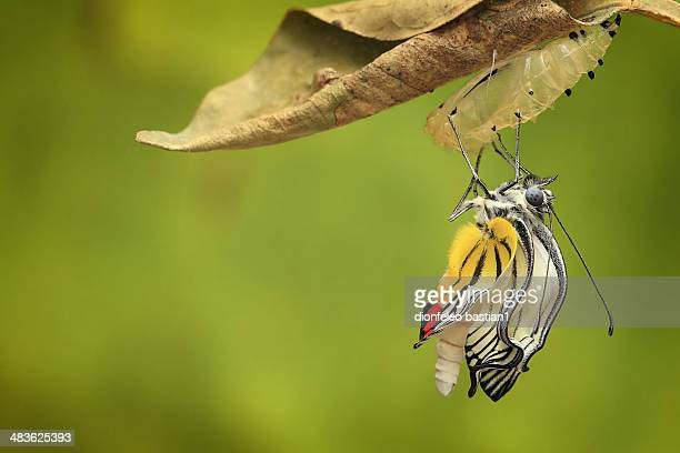 Indonesia, Jember, Butterfly (delis hyparete) emerging from cocoon