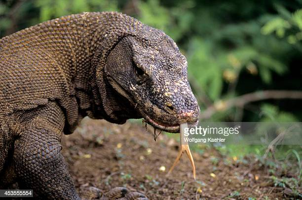 Indonesia Komodo Island Komodo Dragon Portrait Tongue