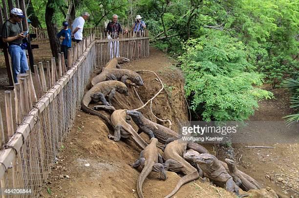 Indonesia Komodo Island Komodo Dragon Tourists In Enclosure