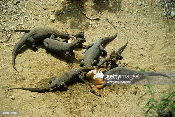 Indonesia Komodo Island Komodo Dragons Feeding On Dead Goat