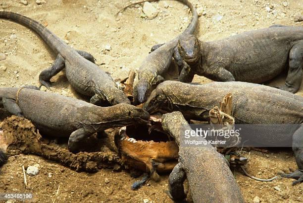 Indonesia, Komodo Island, Komodo Dragons Feeding On Goat.