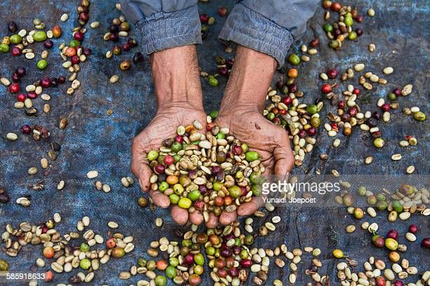indonesia, man holding freshly arabica coffe beans - kintamani district stock pictures, royalty-free photos & images