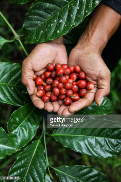 indonesia, man holding freshly arabica coffe beans with coffee leaf on the background - flores indonesia fotografías e imágenes de stock