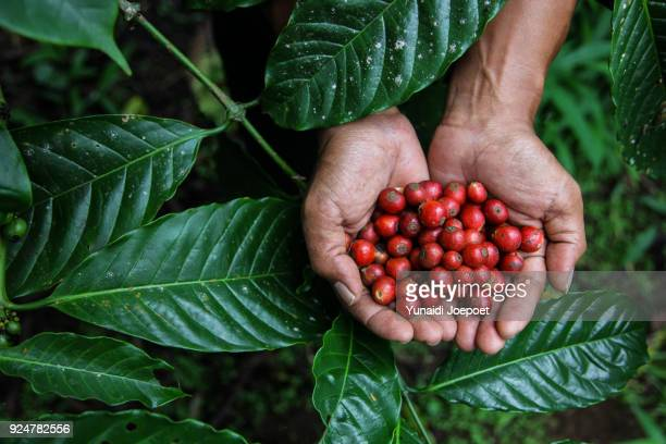 indonesia, man holding freshly arabica coffe beans with coffee leaf on the background - crop plant stock pictures, royalty-free photos & images
