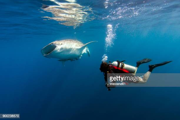 Indonesia, Papua, Cenderawasih Bay, diver watching Whale shark