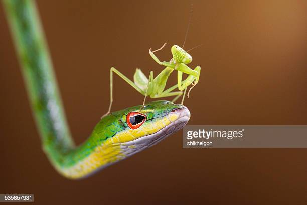 indonesia, riau islands, batam city, mantis on snake - praying mantis stock photos and pictures
