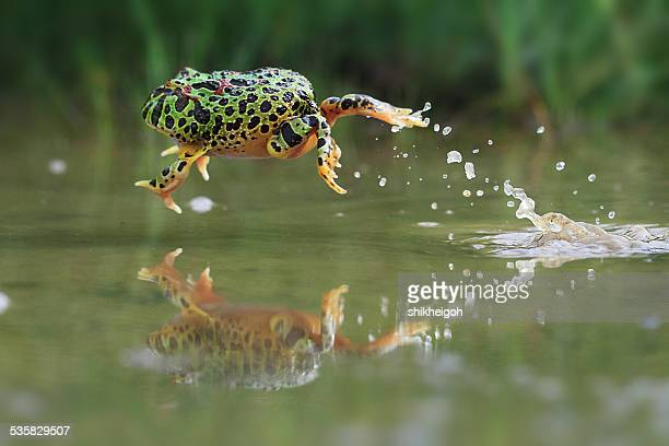 Indonesia, Riau Islands, Frog jumping in water