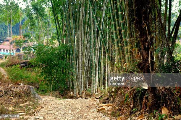 Indonesia, Sulawesi, bamboo forest at Batutumonga in the north of the island