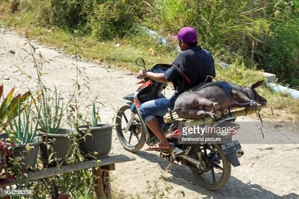Indonesia Sulawesi Selatan Toraja Utara pig transport
