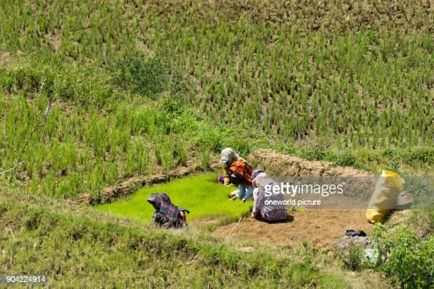 Indonesia Sulawesi Selatan Toraja Utara rice fields