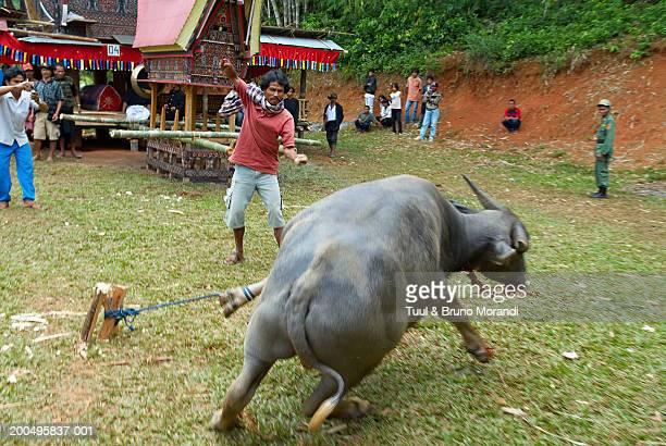 indonesia, sulawesi, tana toraja, buffalo sacrifice at funeral - sulawesi stock pictures, royalty-free photos & images
