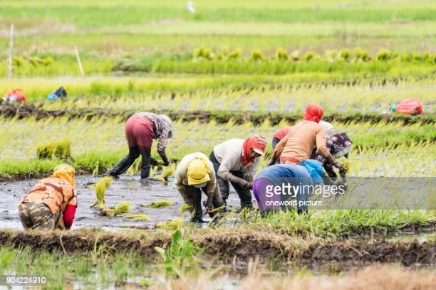 Indonesia Sulawesi Utara Kaban Minahasa locals in rice cultivation Danau Tondano lake on Sulawesi Utara