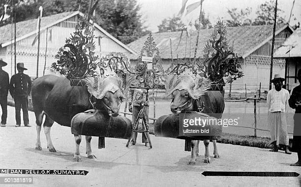 Indonesia Sumatra Medan cattle huge bells and headdress probably in the 1910s Published by 'Universum' 1914