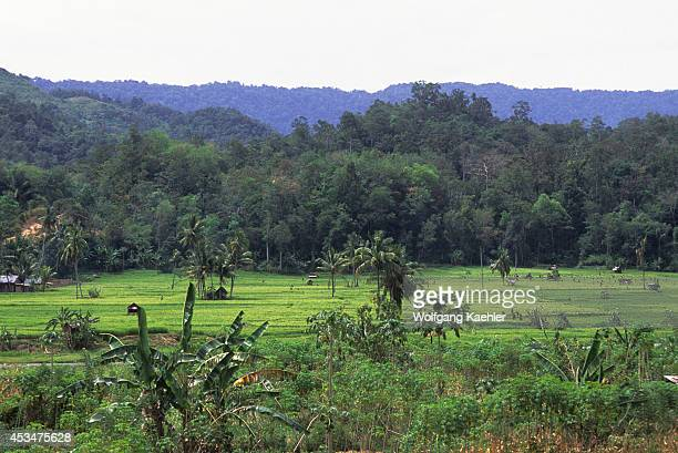 Indonesia Sumatra Rice Fields With Cassava Field In Foreground Rain Forest In Background