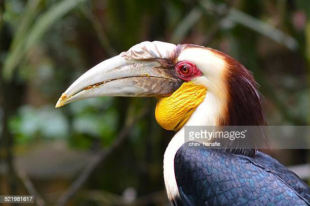 Indonesia, West Java, Bogor, Taman Safari, Rhinoceros hornbill