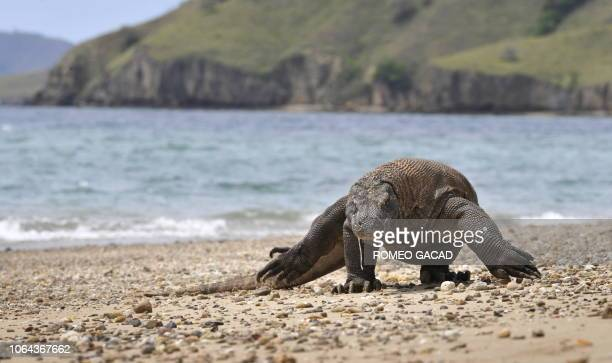 Indonesia-animals-environment-tourism FEATURE by Jerome Rivet In this photo taken December 2, 2010 a Komodo dragon searches the shore area of Komodo...