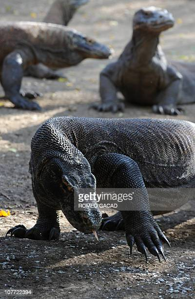 Indonesiaanimalsenvironmenttourism FEATURE by Jerome RivetA photo taken on December 3 1010 shows Komodo dragons on Rinca island part of the protected...