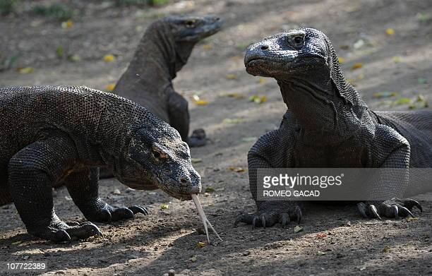 Indonesia-animals-environment-tourism FEATURE by Jerome RivetIn this photo taken December 3, 1010 Komodo dragons search the shore area of Rinca...