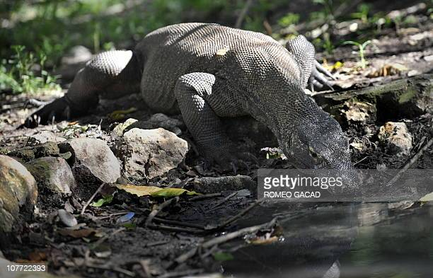 Indonesia-animals-environment-tourism FEATURE by Jerome RivetIn this photo taken December 3, 1010 a Komodo dragon drinks from a pond on Rinca island...
