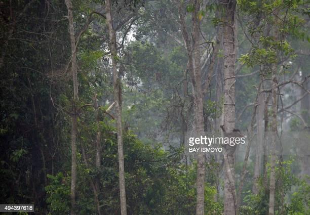 IndonesiaenvironmentpollutionanimalFOCUS by Dessy Sagita This photo taken on October 26 2015 shows an orangutan climbing a tree at a rehabilitation...