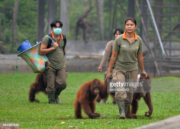 IndonesiaenvironmentpollutionanimalFOCUS by Dessy Sagita This photo taken on October 26 2015 shows workers walking with orangutans as they arrive...