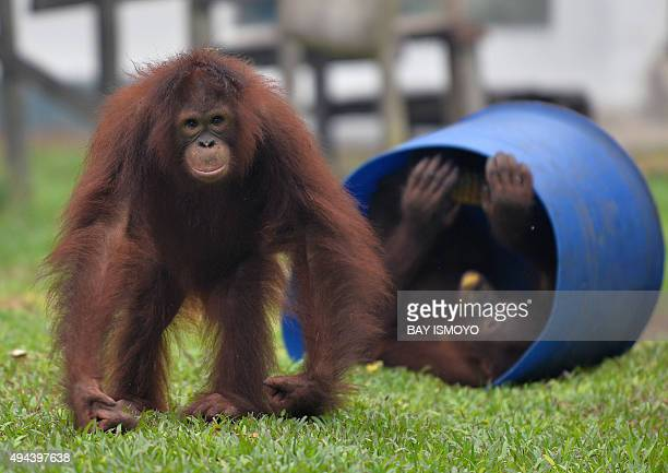 IndonesiaenvironmentpollutionanimalFOCUS by Dessy Sagita This photo taken on October 26 2015 shows orangutans playing outside their cages at a...
