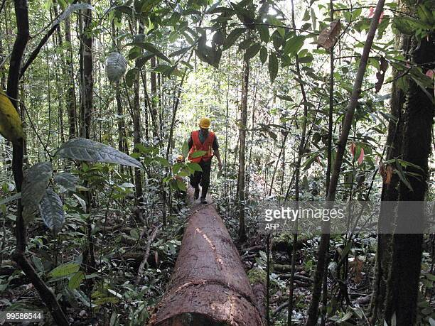 IndonesiaforestenvironmentcrimeFEATURE by Presi Mandari Dayak tribesman Hanye Jaang walks in the forest concession area in Long Hubung on March 30...