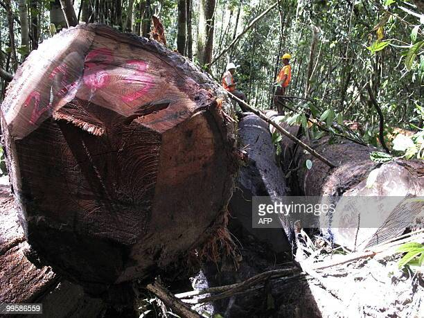 IndonesiaforestenvironmentcrimeFEATURE by Presi Mandari Workers of PT Belayan River Timber work in the forest in Long Hubung on March 30 part of its...