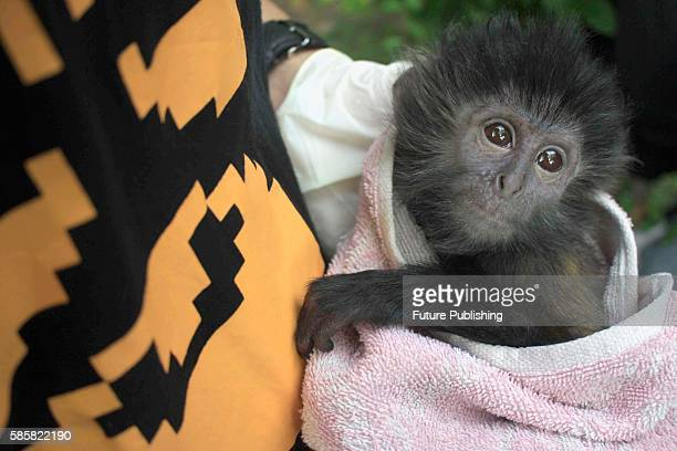 Indonesian animal activist carry two Javan langur and four Javan Slow Loris after it has been rescued by Indonesian police officers from illegal...
