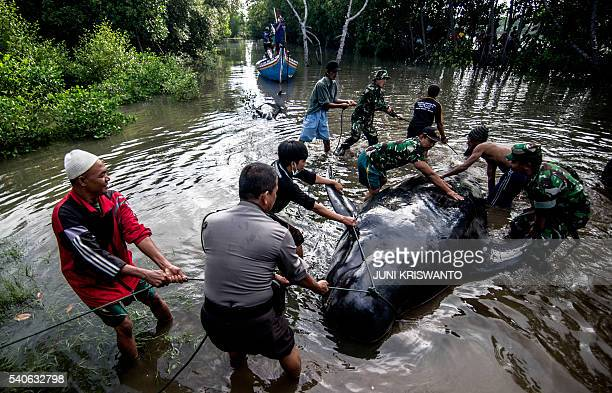 Indonesian environmental activists military and police personnel and villagers try to help a group of shortfinned pilot whales who came ashore during...