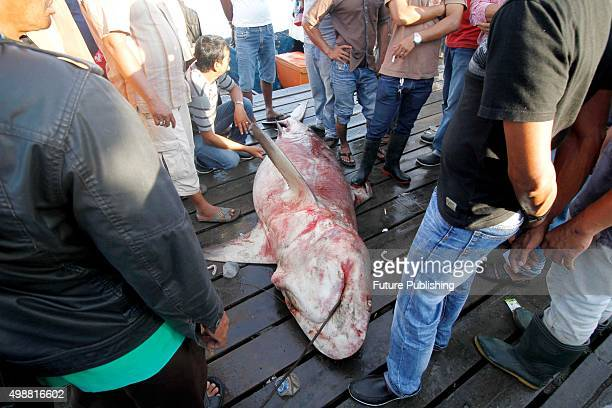 Graphic Content*** BANDA ACEH INDONESIA NOVEMBER 26 Indonesian fisherman carry Shark for sale at the traditional Lampulo fish market on November 26...