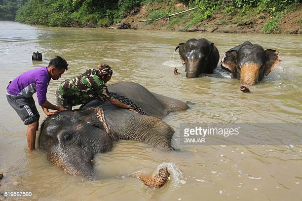Indonesian mahouts bathe elephants prior to a daily patrol at a Conservation Respons Unite to control elephanthuman conflicts in Serbajadi East Aceh...