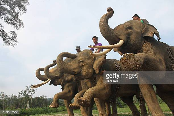 Indonesian mahouts train elephants prior to a daily patrol at a Conservation Respons Unite to control elephant-human conflicts in Serbajadi, East...