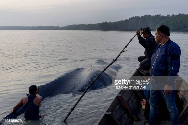Indonesian men examine the carcass of a fourteen-meter long humpback whale, believed to have died on January 11 after becoming disoriented and...