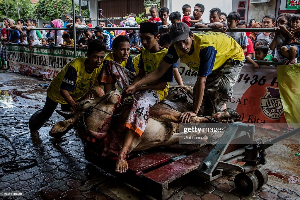 Popular Indonesia Eid Al-Fitr Feast - indonesian-muslims-carry-a-cow-after-it-was-slaughtered-during-for-picture-id603116038  Trends_993859 .com/photos/indonesian-muslims-carry-a-cow-after-it-was-slaughtered-during-for-picture-id603116038