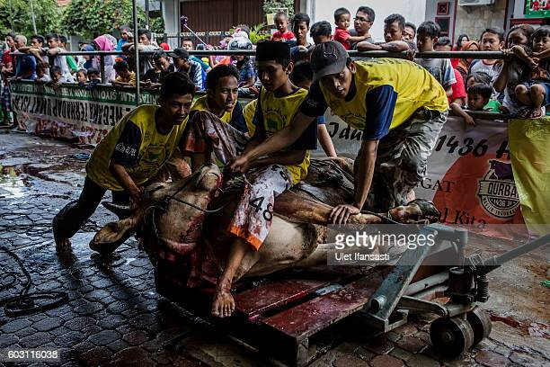 Indonesian Muslims carry a cow after it was slaughtered during celebrations for Eid alAdha at Jogokaryan mosque on September 12 2016 in Yogyakarta...