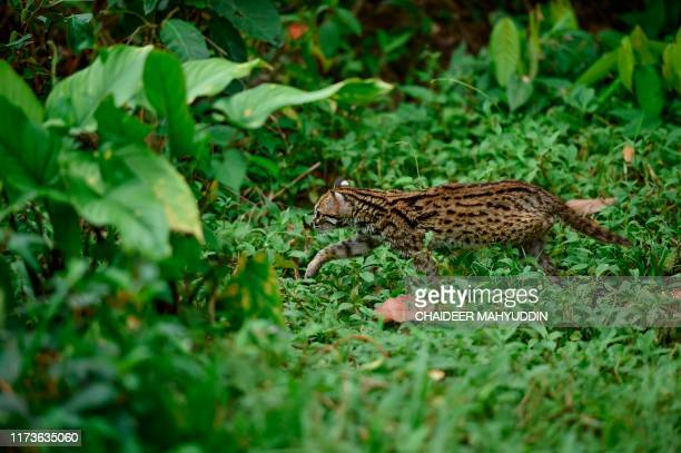 Indonesian nature conservation agency personnel release an Asian leopard cat into the wild to mark the animal day in Sampoiniet of the Aceh province...